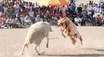 combat moutons